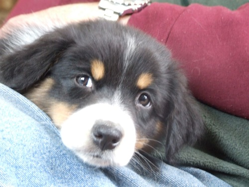 Maddy the Aussie pup 2011